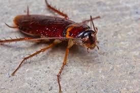شركة رش حشرات براس تنوره